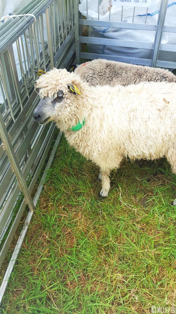 """Un mouton bien frisé au festival """"Des Fibres aux Fils"""" en Bretagne, dans les Monts d'Arrée"""