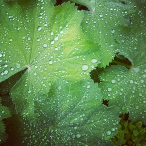 Photo Instagram de plantes sous la pluie dans le jardin de simples de l'Abbaye Saint-Magloire de Léhon pour l'Instameet Dinan Léhon 2016