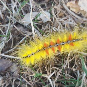 Chenille rouge et jaune de papillon noctuelle de l'érable dans le jardin