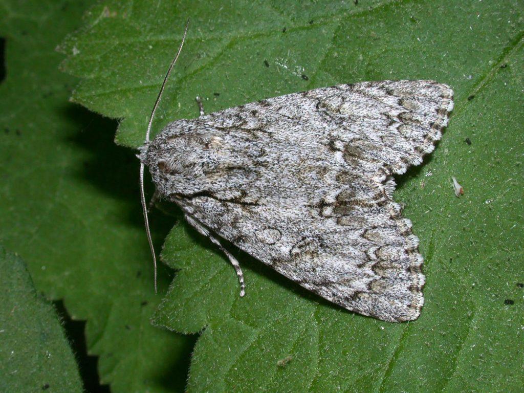 Papillon / imago de noctuelle de l'érable, papillon de nuit. Source: lepinet.fr