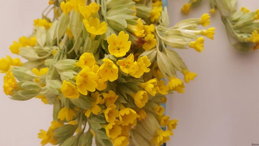 Une partie de ma cueillette de fleurs comestibles jaunes de coucou ou primevère officinale pour faire une gelée.