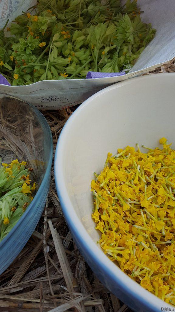 Séparation des tiges et fleurs jaunes comestibles de coucou ou primevère officinale pour la préparation d'une gelée.