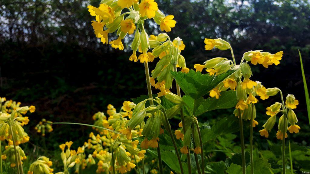 Fleurs comestibles de coucou ou primevère officinale jaunes dans mon jardin.