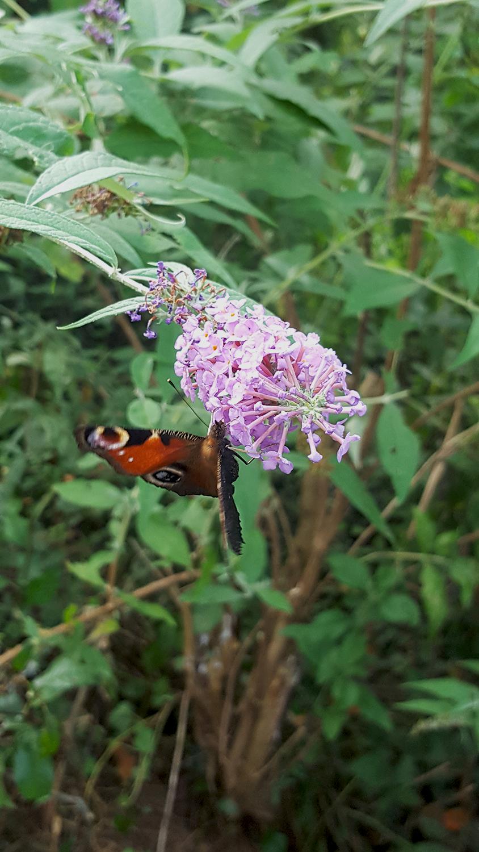 Papillon paon du jour jardin imago ailes ocelles plantes for Jardin plante