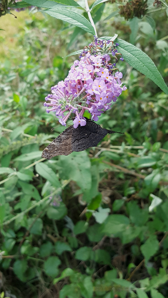 Un imago de papillon paon du jour dans mon jardin vu du dessous.