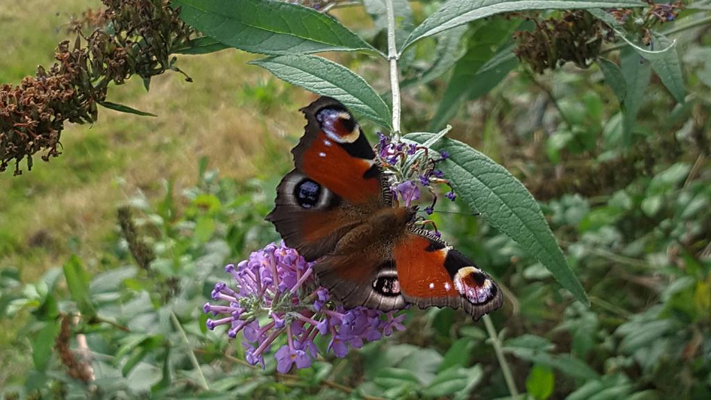 Un imago de papillon paon du jour dans mon jardin vu du dessus.
