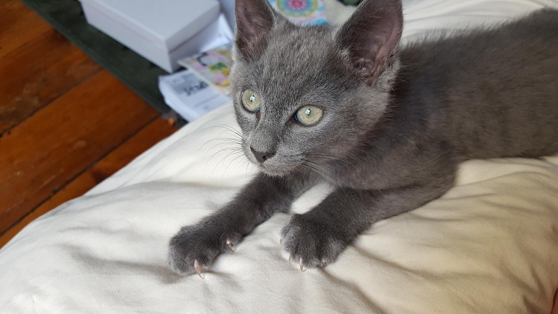 Mon chat mignon tout gris, couleur chartreux, sur mon lit dans la maison.