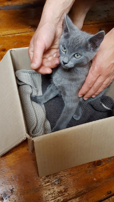 Mon chat gris chartreux sur sa couverture tricotée en point mousse beige et marron dans son carton.